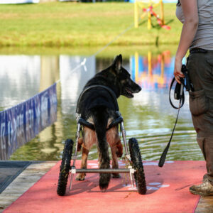 Back of dog in wheelchair on dock
